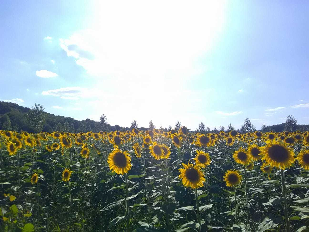 A Sea of Sunflowers