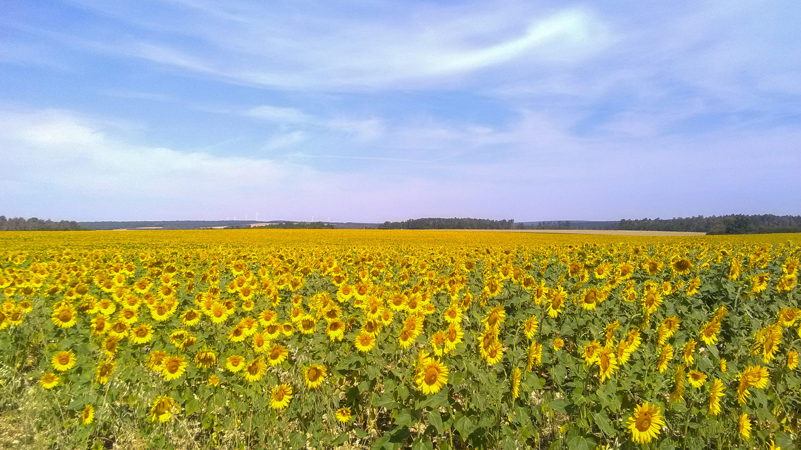 Sunflower Fields of Burgundy